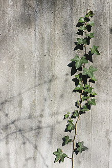 Ivy growing on concrete wall, close up - LFF000377