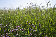 Germany, Bavaria, Summer meadow, close up - TCF002453