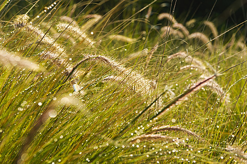 Portugal, Algarve, Sagres, View of grass with water drop, close up - MIRF000449