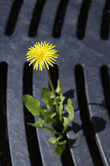 Germany, Bavaria, Dandelion growing through grid - TCF002538