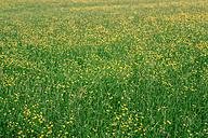 Austria, Field of flowers - WVF000235