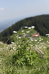 Germany, Bavaria, Aconite leaved Buttercup, Gindelalm Mountain in background - SIEF002692