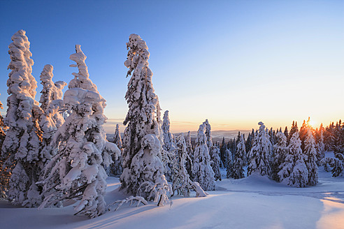 Germany, Bavaria, View of snow covered trees during sunset at Bavarian Forest - FOF003915