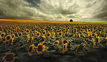 Germany, View of sunflower field near Dresden - CEF000003