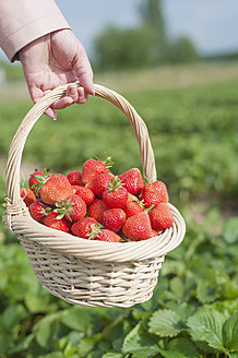 Germany, Saxony, Mid adult woman holding straw basket with strawberries, close up - MJF000051