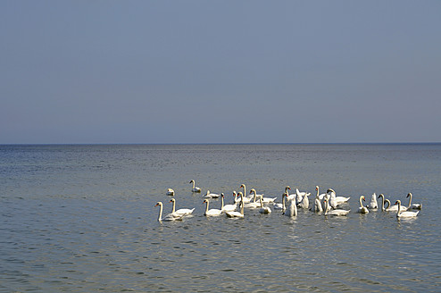 Germany, Swans floating on water at Ruegen - AXF000125