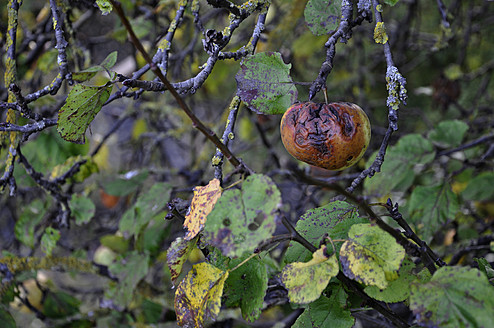 Germany, Bavaria, Rotten apple in tree - AXF000142