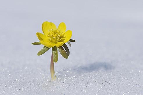 Germany, Bavaria, Winter Aconite in snow - RUEF000911