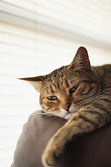 Cat relaxing on couch, close up - ABAF000112