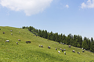 Austria, Styria, Lipizzan Horses on summer pasture at Stubalpe mountain - SIEF002756