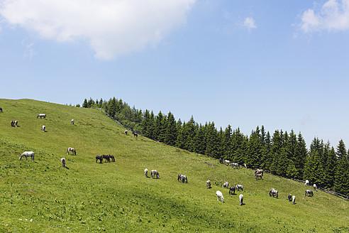 Austria, Styria, Lipizzan Horses on summer pasture at Stubalpe mountain - SIEF002756