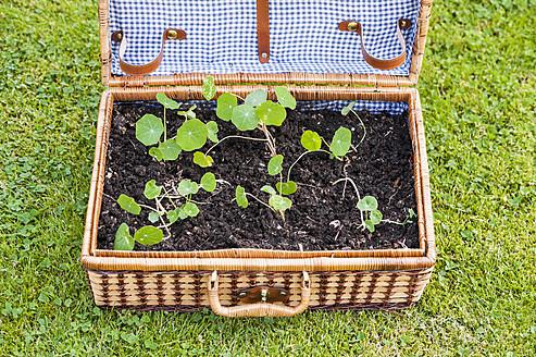 Germany, North Rhine Westphalia, Nasturtium growing in suitcase - KJF000171