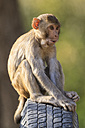 India, Uttarakhand, Rhesus Macaque sitting on spare wheel at Jim Corbett National Park - FOF004024