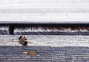 Germany, Dead bee on wooden beam - WBF001242