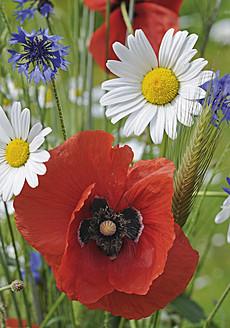 Germany, Poppy and cornflowers - WBF001245