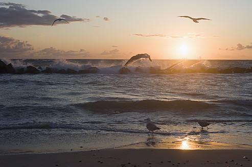 Germany, Mecklenburg Western Pomerania, Seagulls at Baltic Sea - MJF000116