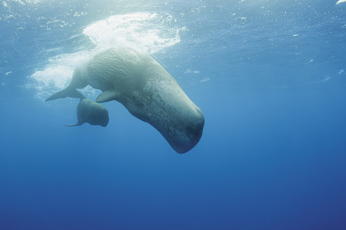 Portugal, Sperm whale mother diving with her calf - GNF001246