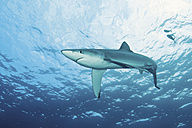 Portugal, Blue shark with pilot fish in Azores - GNF001231