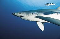 Portugal, Blue shark with pilot fish in Azores - GNF001227