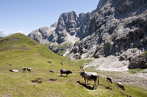Italy, Cows grazing in meadow at South Tyrol - UMF000413