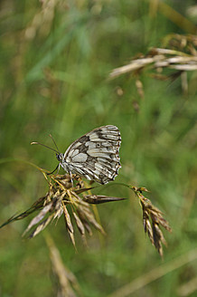 Germany, Bavaria, Butterfly on stem - AXF000235