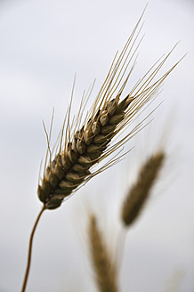 Germany, Bavaria, Close up of ear of barley - AXF000271