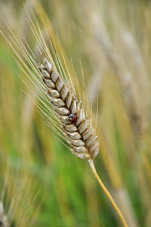 Germany, Bavaria, Ear of barley with lady beetle - AXF000273