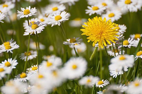 Germany, Bavaria, Dandelion between daisy flowers - UMF000452