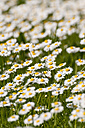 Germany, Bavaria, Daisy flowers, close up - UMF000456