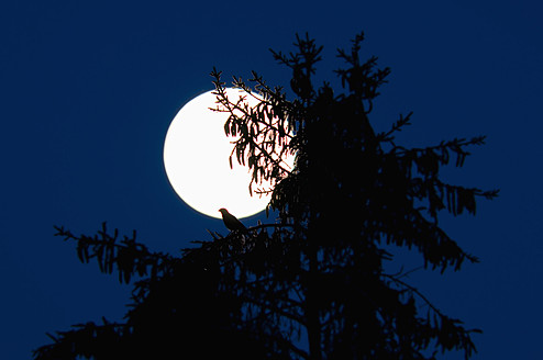 Germany, Bavaria, Bird perching on fir tree, full moon in background - UMF000463
