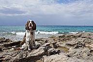 Spain, Mallorca, English Springer Spaniel sitting at Atlantic coast - MAEF004890
