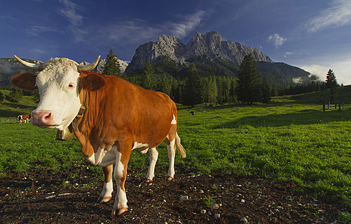 Germany, Bavaria, Cow standing in front of alps - VDSF000008
