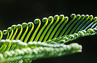 Germany, Close up of forest fern in springtime - JTF000002