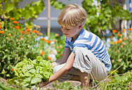 Germany, Bavaria, Boy picking lettuce in garden - HSIYF000023