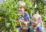 Germany, Bavaria, Boy and girl picking tomatoes in garden - HSIYF000085