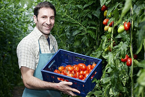 Germany, Bavaria, Munich, Mature man harvesting tomatoes in greenhouse - RREF000044