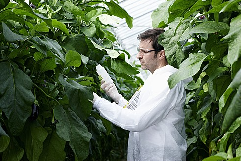 Germany, Bavaria, Munich, Scientist in greenhouse examining aubergine plants - RREF000047