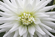 Germany, Close up of dahlia - JTF000099