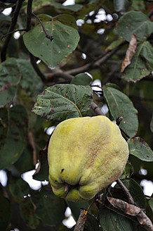 Germany, Baden Wuerttemberg, Quince on tree - AXF000312
