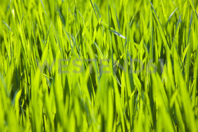 Germany, Close up of green grass - CPF000004 - Christoph Prall/Westend61
