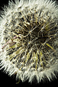 Close up of common dandelion - MAEF005108
