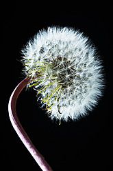 Close up of common dandelion - MAEF005104