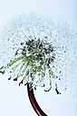 Close up of common dandelion - MAEF005097