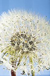 Close up of common dandelion - MAEF005093