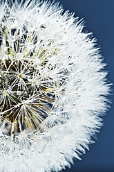 Close up of common dandelion - MAEF005088