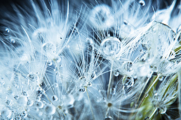 Close up of common dandelion - MAEF005085