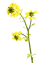 Close up of rapeseed against wihte background - MAEF005175