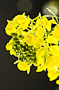 Close up of rapeseed - MAEF005180