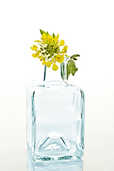 Close up of rapeseed with glass bottle on wihte background - MAEF005183