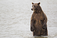 USA, Alaska, Brown bear in Silver salmon creek at Lake Clark National Park and Preserve - FOF004335